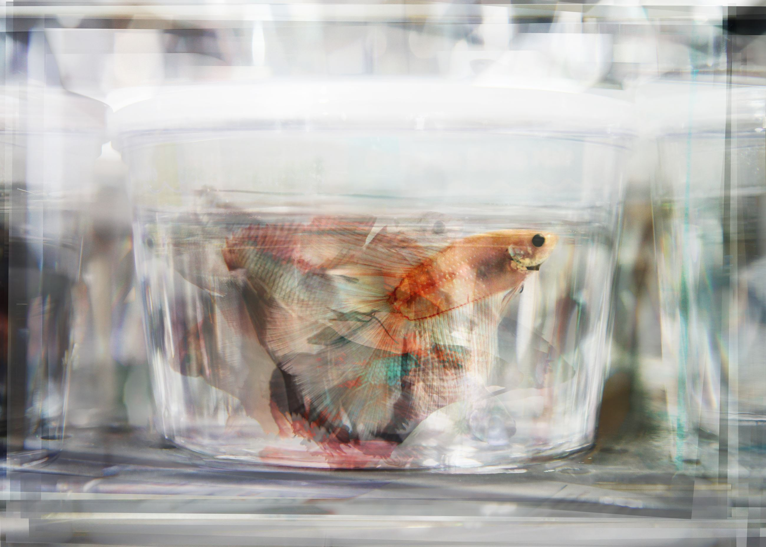 colorful beta-fish in clear glass container